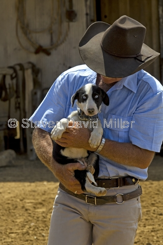 australian stockman's hall of fame;stockmans hall of fame;stockman's hall of fame;longreach;outback heritage centre;rmwilliams outback stockmans show;border collie puppy;border collie;longreach museum