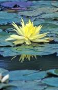 montville;lilyponds;lilyponds-wetland;montville-wetland;water-lilies;water-lily;waterlily;family-nym