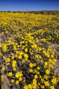 strzelecki-desert;strzelecki-track;expanse-of-yellow-daisies;desert-with-yellow-daisies;field-of-yel