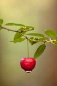 mountain-berry;tasmanian-mountain-berry;red-mountain-berry;temperate-rainforest;franklin-gordon-wild