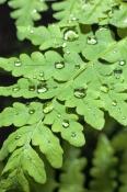 temperate-rainforest;lake-dobson-road;temperate-rainforest-fern;mt-field-national-park;mount-field-n