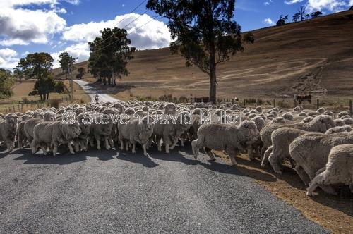 herding sheep;rounding up sheep;driving sheep;flock of sheep;tasmanian sheep;group of sheep