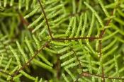 dismal-swamp;tarkine-region;sinkhole;blackwood-forest;coral-fern;gleicheniaceae;temperate-rainforest