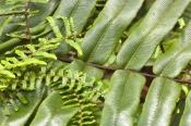 dismal-swamp;tarkine-region;tarkine;the-tarkine;sinkhole;blackwood-forest;coral-fern;gleicheniaceae;