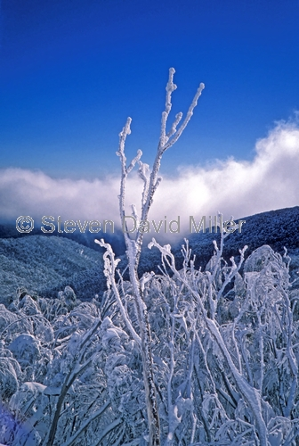 mt buller;alpine national park;eucalyptus leaves;frosted leaves;leaves covered with snow;victorian alps