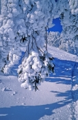 mt-buller;alpine-national-park;eucalyptus-leaves;frosted-leaves;leaves-covered-with-snow;victorian-a