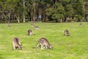 camping;campground;kangaroos-in-campground;grampians-kangaroos;kangaroos-in-field;halls-gap-lakeside