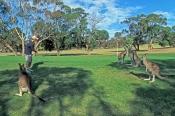anglesea-golf-club;great-ocean-road;kangaroos-on-golf-course;golfing-kangaroos;funny-golf-courses;au