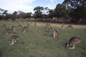 AUSTRALIA;FEEDING;GROUPS;KANGAROOS;LANDSCAPES;LEISURE;MACROPUS-GIGANTEUS;MAMMALS;MARSUPIALS;URBAN;VE