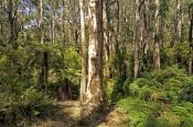 badger-creek-walk;yarra-ranges;yarra-ranges-national-park;healesville;victorian-national-park;austra