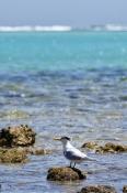 cape-range-national-park;torquoise-bay;caspian-tern;sterna-bergii;cape-range;exmouth;ningaloo-reef