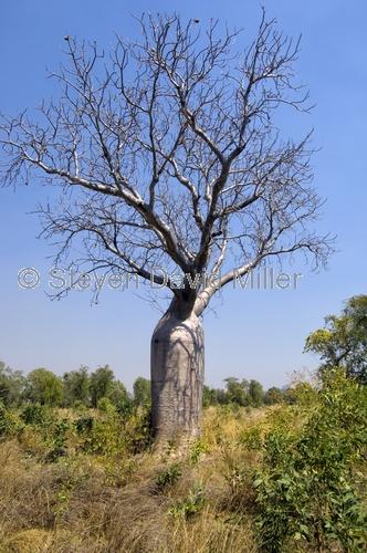 boab tree;adansonia gregorii;kimberley;the kimberley;kununurra