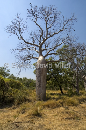 boab tree;adansonia gregorii;kimberley
