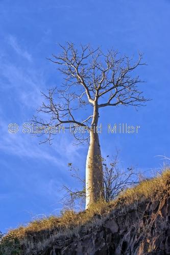lower ord river;ord river;ord river irrigation scheme;lower ord river scenery;ord river scenery;kimberley river;boab tree;kimberley boab tree;australian boab tree;kimberley;western australia