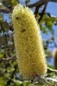 bansia;banksias;banksia-seed-pod;family-proteaceae;dwellingup;dwellinup-forest-heritage-centre;lane-