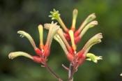 kangaroo-paw;family-haemodoraceae;western-australia-wildflowers;dwellingup;lane-poole-reserve;wester