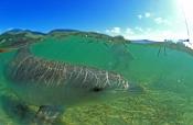 indo-pacific-bottlenose-dolphin;monkey-mia-dolphin;monkey-mia;monkey-mia-dolphin-resort;shark-bay;pe