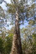 fire-lookout-tree;gloucester-tree;gloucester-national-park;pemberton-forest-drive;pemberton;western-