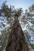 fire-lookout-tree;bicentennial-tree;dave-evans-tree;dave-evans-bicentennial-tree;warren-national-par