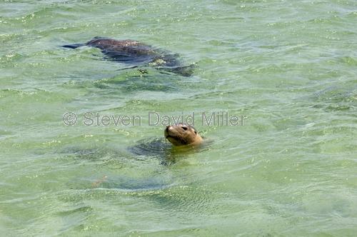 penguin island;rockingham;kayaking;sea lion;sea-lion;australian sea lion;neophoca cinerea