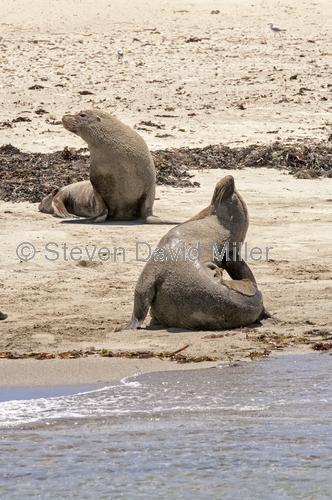 penguin island;rockingham;sea lion;australian sea lion;sea-lion;neophoca cinerea