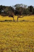 AUSTRALASIA;AUSTRALIA;FLOWERS;SPRING;YELLOW;southwest-western-australia