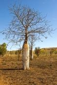 boab-tree;adansonia-gregorii;parry-creek-farm;old-halls-creek-track;wyndham;kimberley;the-kimberley