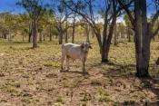 brahman-bull;kimberley-brahman-bull;kimberley-station-brahman-bull;parry-creek-farm;old-halls-creek-