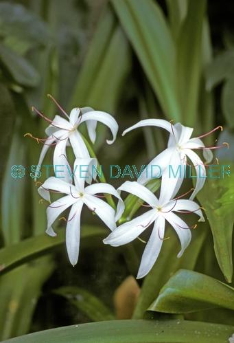 swamp lily picture;swamp lily;crinum americanum;swamp;cypress swamp;florida swamp;swamp;swamp plant;corkscrew swamp sanctuary