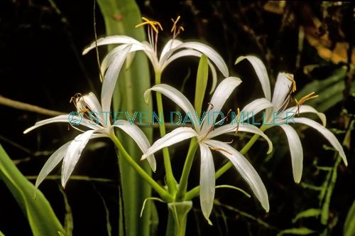 swamp lily picture;swamp lily;swamp plant;cypress swamp;corkscrew swamp sanctuary;florida swamp;swamp