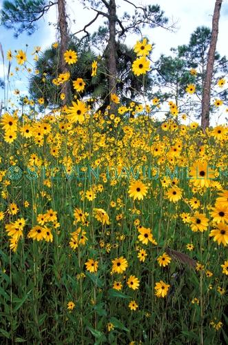 corkscrew swamp sanctuary picture;corkscrew swamp sanctuary;audubon sanctuary;florida swamp;pineland;wet prairie;cypress swamp;yellow wildflowers;sunflowers;swamp sunflower;Helianthus angustifolius