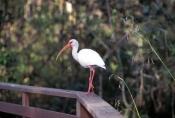 corkscrew-swamp-sanctuary;cypress-swamp;white-ibis;corkscrew-swamp-sanctuary-boardwalk;boardwalk;bir