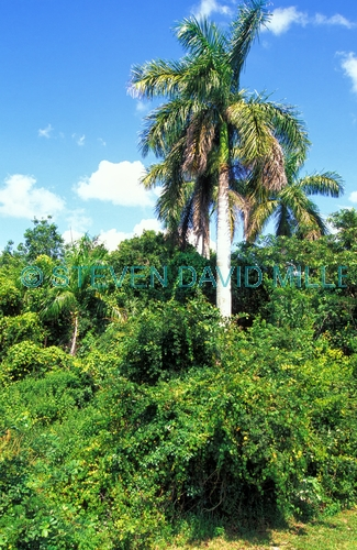 collier seminole state park;florida state park;state park southwest florida;hammock;royal palm tree;royal palm tree in collier seminole state park;collier seminole state park river