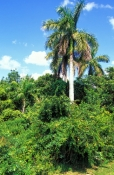 collier-seminole-state-park;florida-state-park;state-park-southwest-florida;hammock;royal-palm-tree;