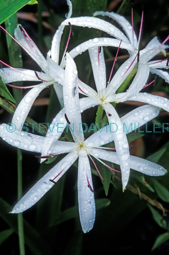 swamp lily;lily;swamp plant;crinum americanum;shark valley;everglades;everglades national park;florida national park;everglades plants;plants of the everglades