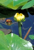 spatterdock-water-lily;yellow-water-lily;water-lily;waterlily;everglades-plants;royal-palm;anhinga-t