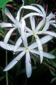 swamp-lily;lily;swamp-plant;crinum-americanum;shark-valley;everglades;everglades-national-park;flori
