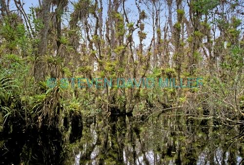 fakahatchee stranch;fakahatchee strand state preserve;big cypress;big cypress bend;big cypress basin;swamp;freshwater swamp;florida swamp;swamp plants