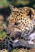 leopard-picture;leopard;panthera-pardus;leapard-closeup-picture;leapard-head;big-cat;endangered-spec