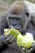western-lowland-gorilla;lowland-gorilla