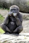 western-lowland-gorilla;lowland-gorilla;gorilla;taronga-zoo;gorilla-eating;captive-gorilla