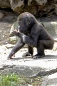 western-lowland-gorilla;lowland-gorilla;gorilla;gorilla-eating;gorilla-gorilla;taronga-zoo;primate;g