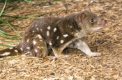 spot-tailed-quoll;spotted-tailed-quoll;quoll;tiger-quoll;tiger-cat;dasyurus-maculatus;devils-heaven-
