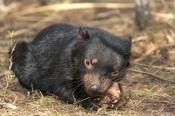 tasmanian-devil;sarcophilus-harrisi;tasmanian-wildlife-park;tasmanian-devil-eating;juvenile-tasmania