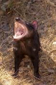 tasmanian-devil;sarcophilus-harrisi;tasmanian-wildlife-park;tasmania;something-wild-wildlife-park;au