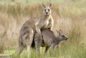 eastern-grey-kangaroo-mating-picture;eastern-grey-kangaroo-mating;eastern-gray-kangaroo-mating;grey-