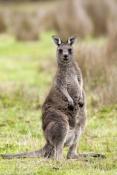 eastern-grey-kangaroo-picture;eastern-grey-kangaroo;eastern-gray-kangaroo;female-eastern-grey-kangar