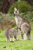 eastern-grey-kangaroo-with-joey-drinking-from-pouch-picture;eastern-grey-kangaroo-with-joey-drinking