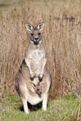 eastern-grey-kangaroo-with-joey-in-pouch-picture;eastern-grey-kangaroo-with-joey-in-pouch;grey-kanga
