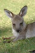 eastern-grey-kangaroo;macropus-giganteus;kangaroo;kangaroo-joey;joey;marsupial